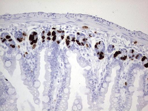 IdU Antibody in Immunohistochemistry (Paraffin) (IHC (P))