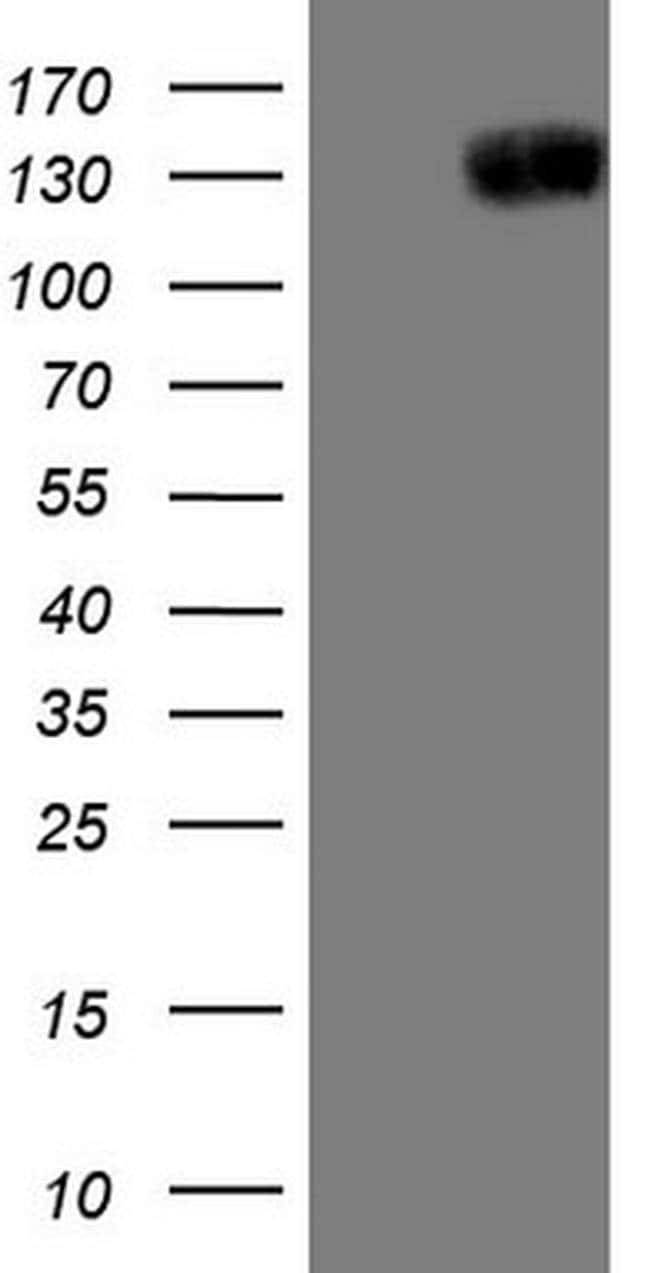 JAG1 Antibody in Western Blot (WB)