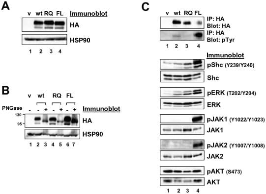 Phospho-JAK1 (Tyr1022, Tyr1023) Antibody