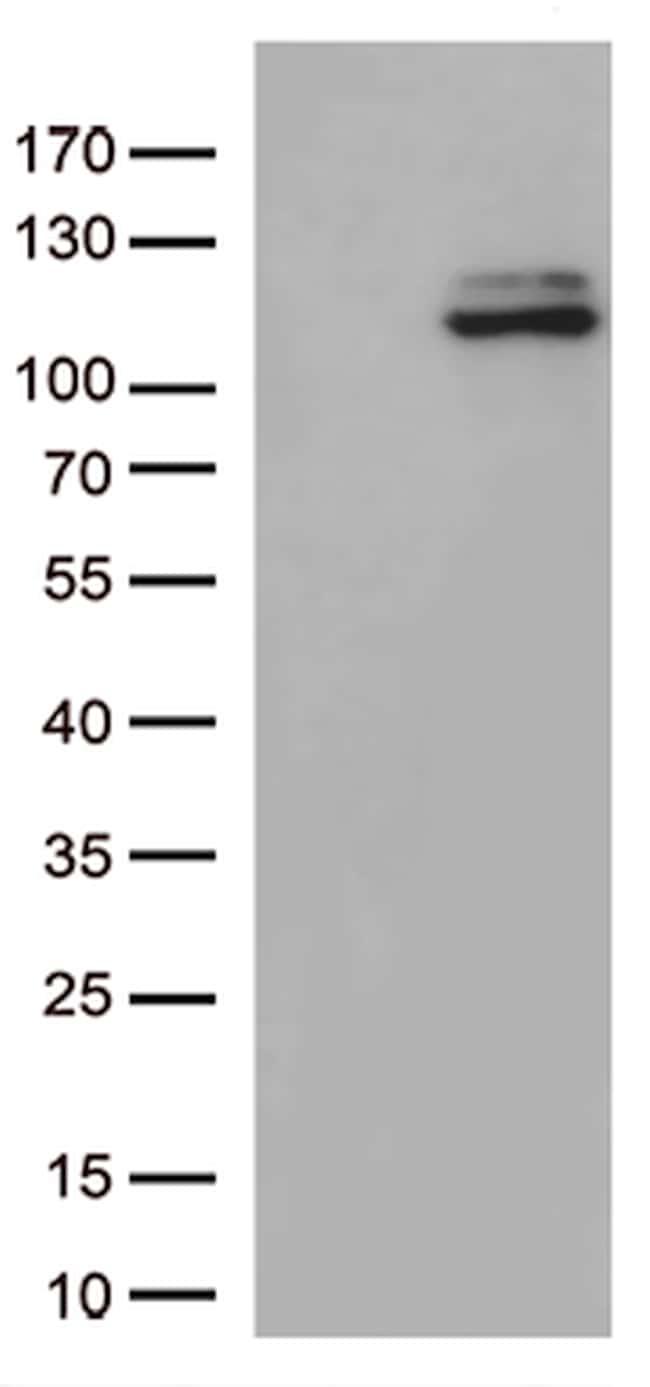 JAK3 Antibody in Western Blot (WB)