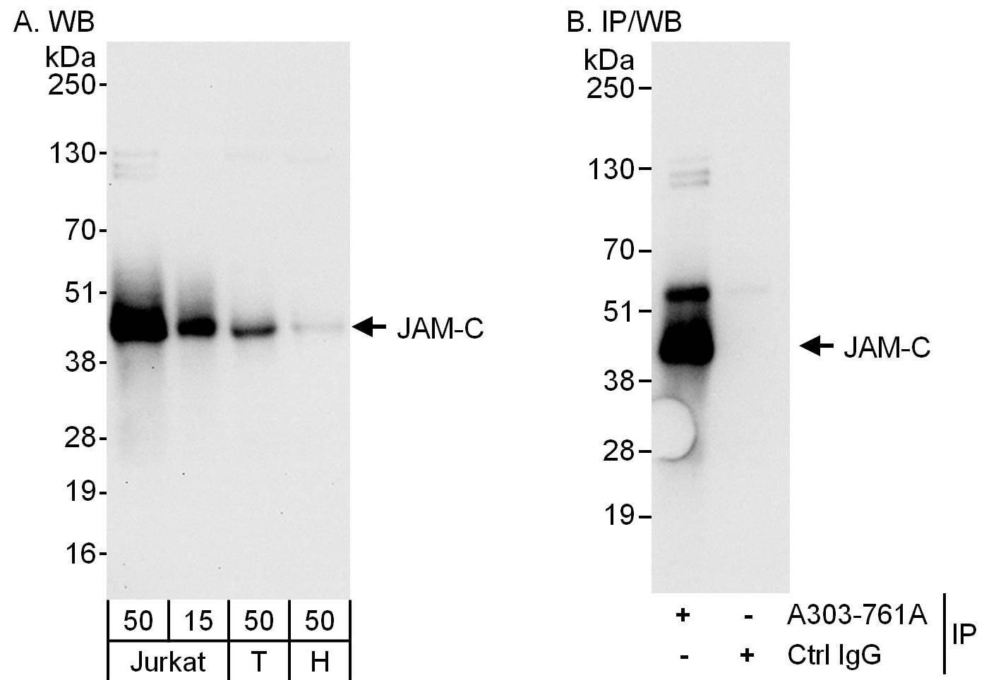 JAM-C Antibody in Western Blot (WB)