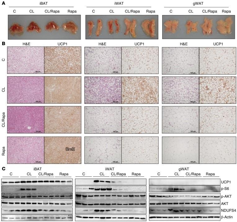 NDUFS4 Antibody