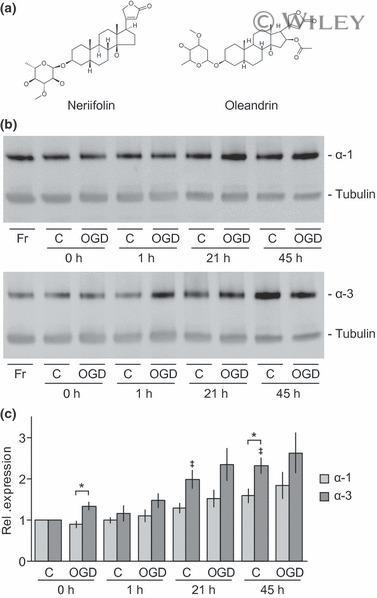 ATP1A3 Antibody