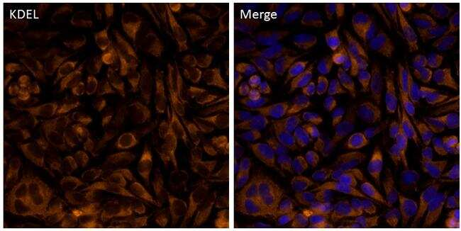 KDEL Antibody in Immunofluorescence (IF)