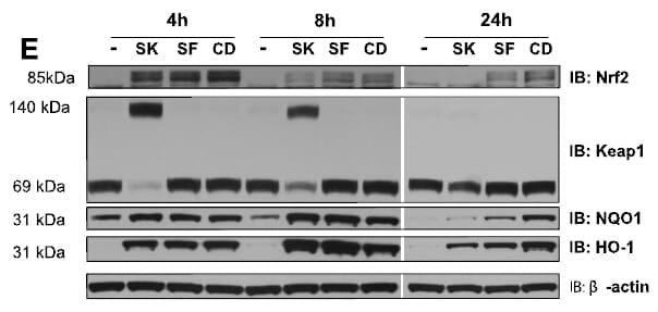 KEAP1 Antibody in Western Blot (WB)