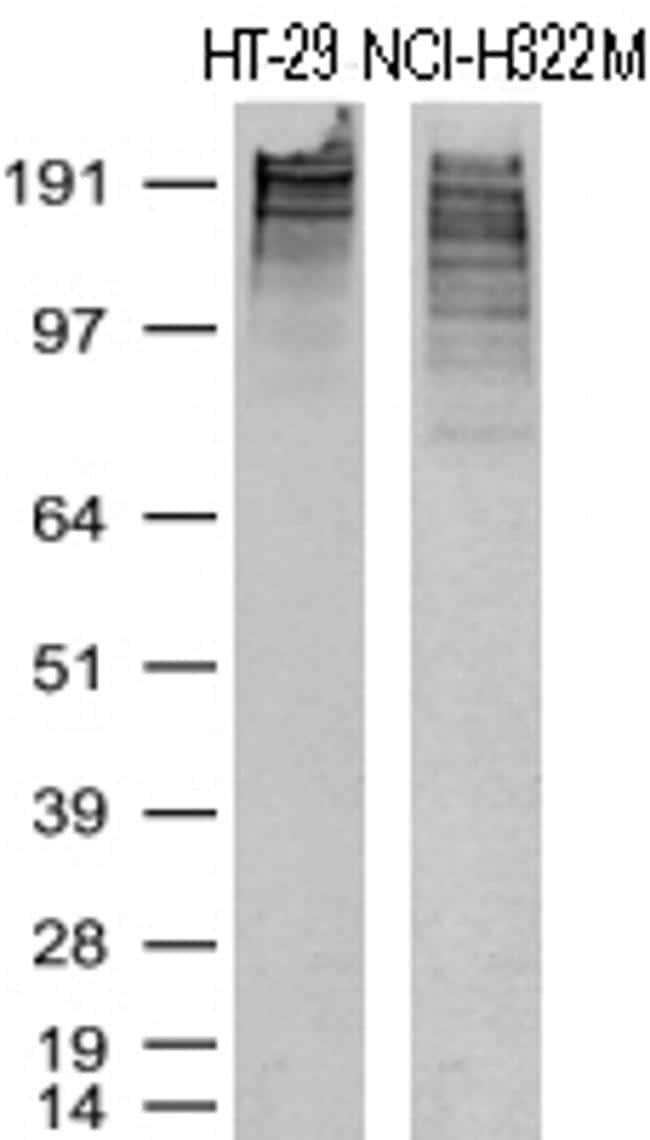 KI67 Antibody in Western Blot (WB)