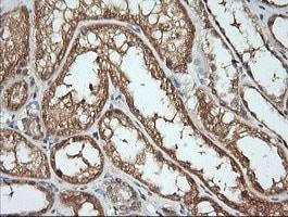 KLK8 Antibody in Immunohistochemistry (Paraffin) (IHC (P))