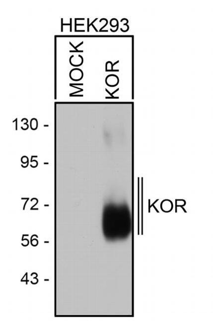 OPRK1 Antibody in Western Blot (WB)