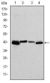 Cytokeratin 19 Antibody in Western Blot (WB)