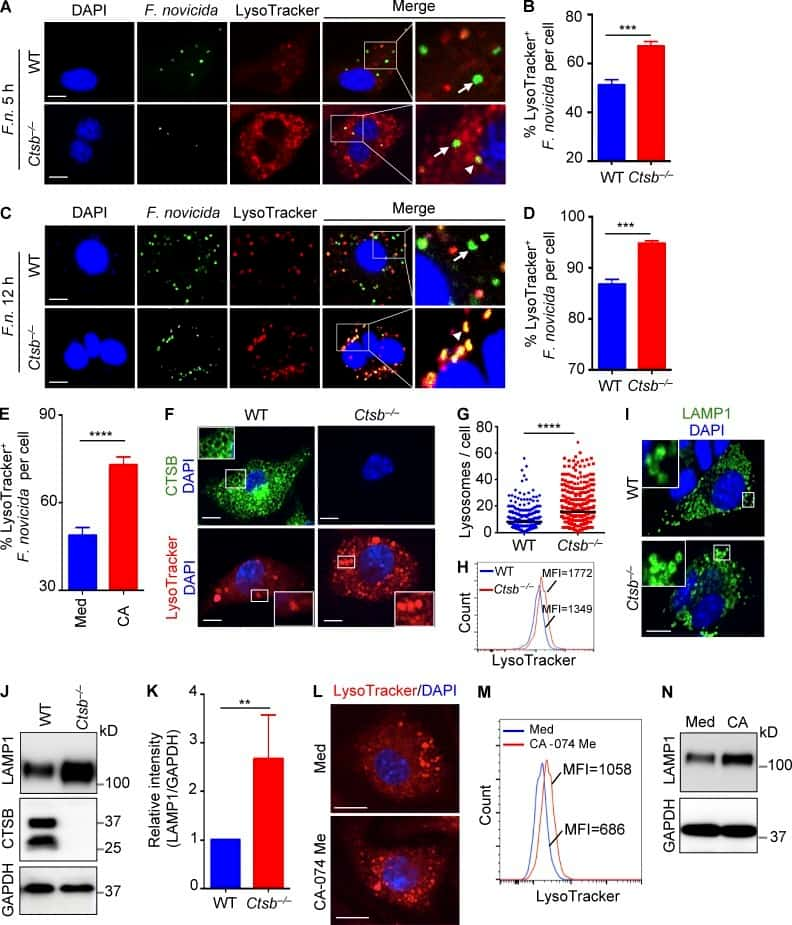 CD107a (LAMP-1) Antibody