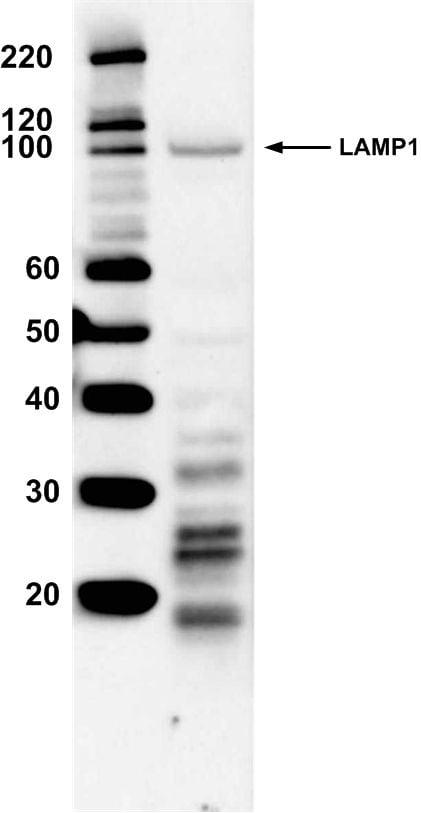 LAMP1 Antibody in Western Blot (WB)