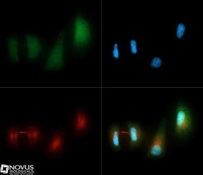 LC3A/LC3B Antibody in Immunofluorescence (IF)