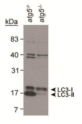 LC3A/LC3B Antibody in Western Blot (WB)