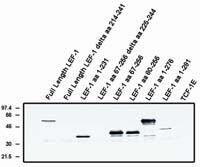 LEF1 (Alternate Exon) Antibody in Western Blot (WB)