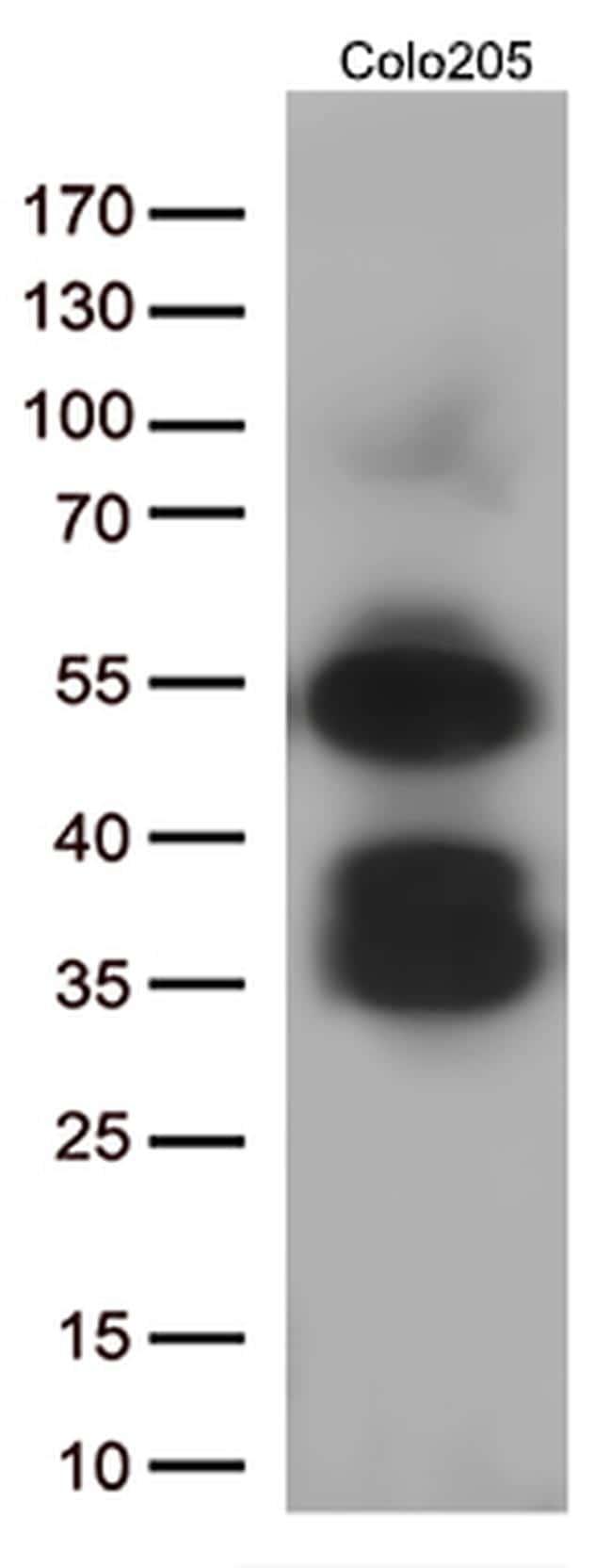 LEF1 Antibody in Western Blot (WB)