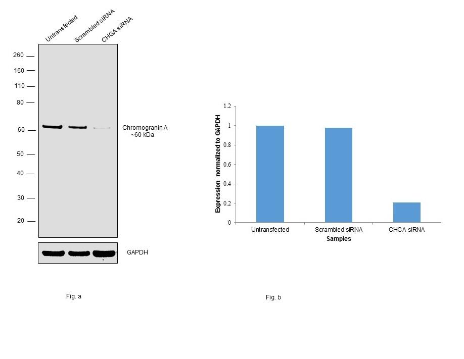 Chromogranin A Antibody in Knockdown