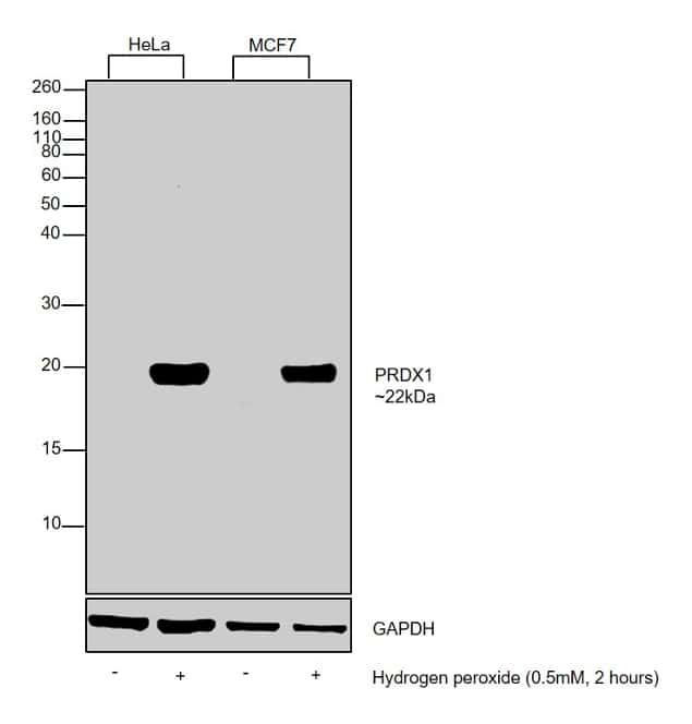PRDX1 Antibody in Cell Treatment
