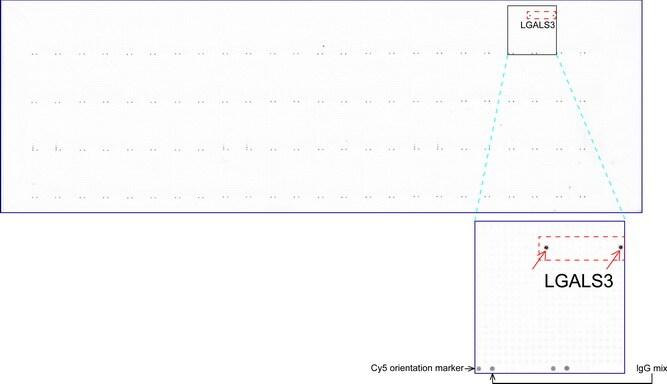 LGALS3 Antibody in Peptide array (ARRAY)