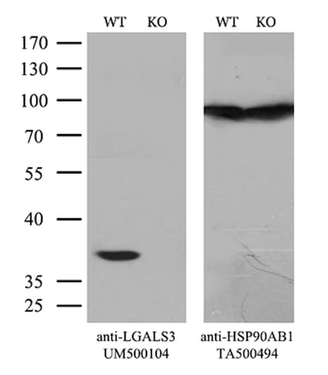 LGALS3 Antibody in Knockout