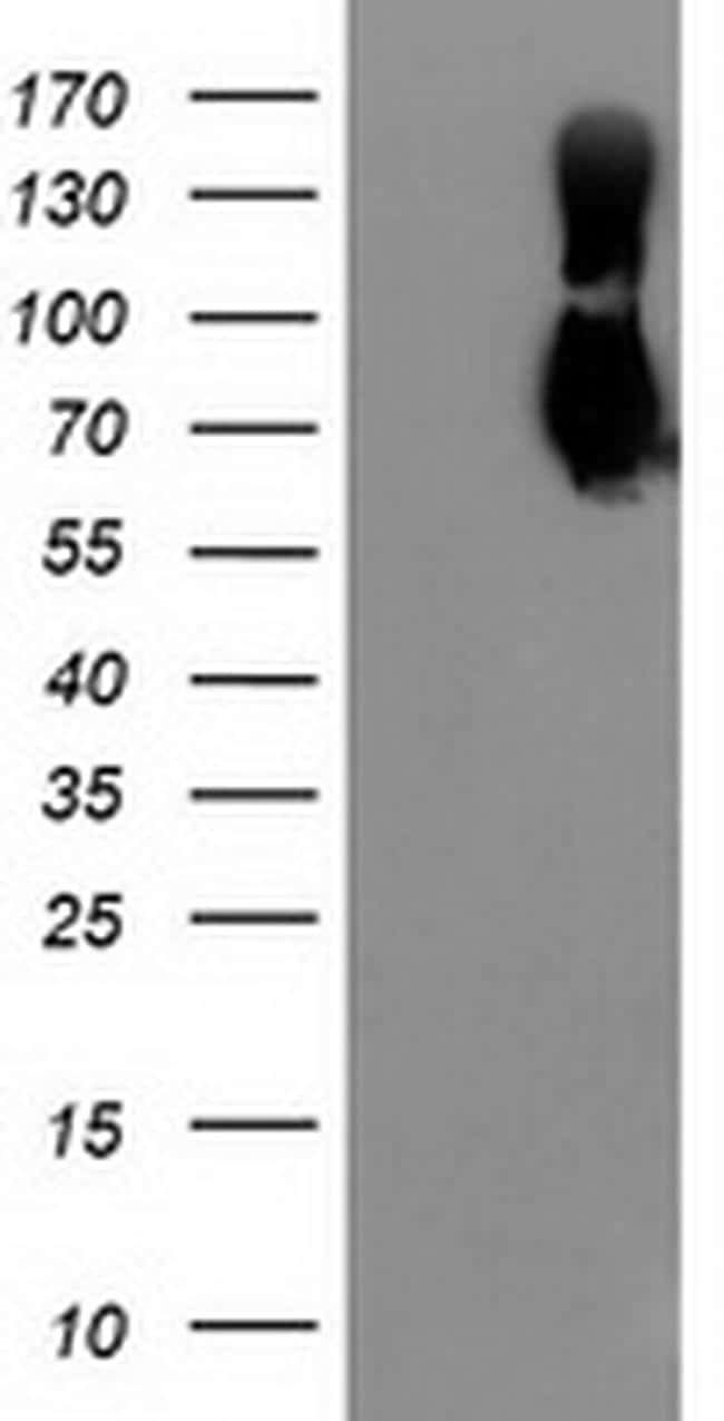 LGALS3BP Antibody in Western Blot (WB)