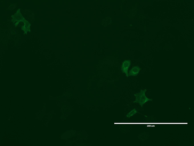 LGR5 Antibody in Immunofluorescence (IF)