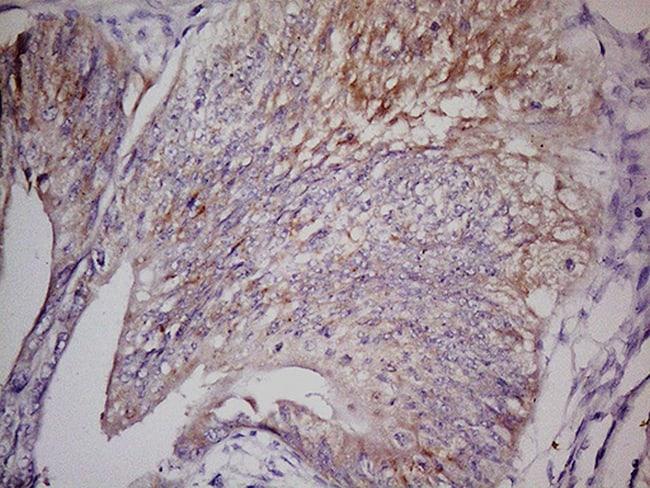 LGR5 Antibody in Immunohistochemistry (Paraffin) (IHC (P))