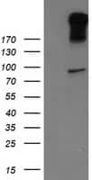 LGR5 Antibody in Western Blot (WB)