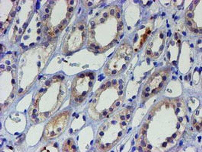LHX1 Antibody in Immunohistochemistry (Paraffin) (IHC (P))