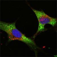 LIN28A Antibody in Immunofluorescence (IF)