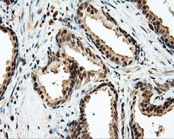 LIPG Antibody in Immunohistochemistry (Paraffin) (IHC (P))