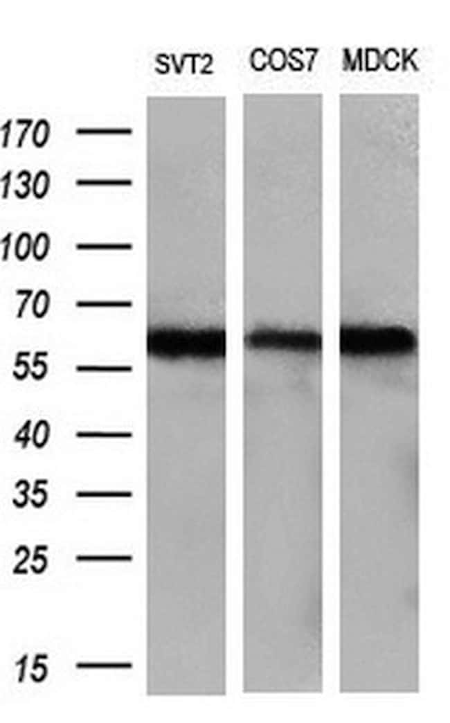 LIPG Antibody in Western Blot (WB)