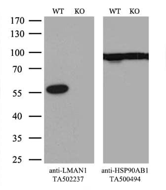 LMAN1 Antibody in Knockout