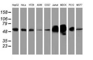 LMAN1 Antibody in Western Blot (WB)