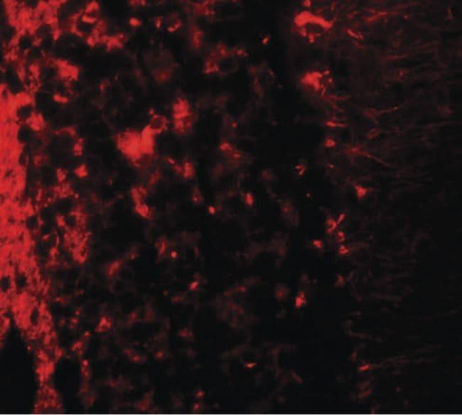 LRRTM2 Antibody in Immunofluorescence (IF)