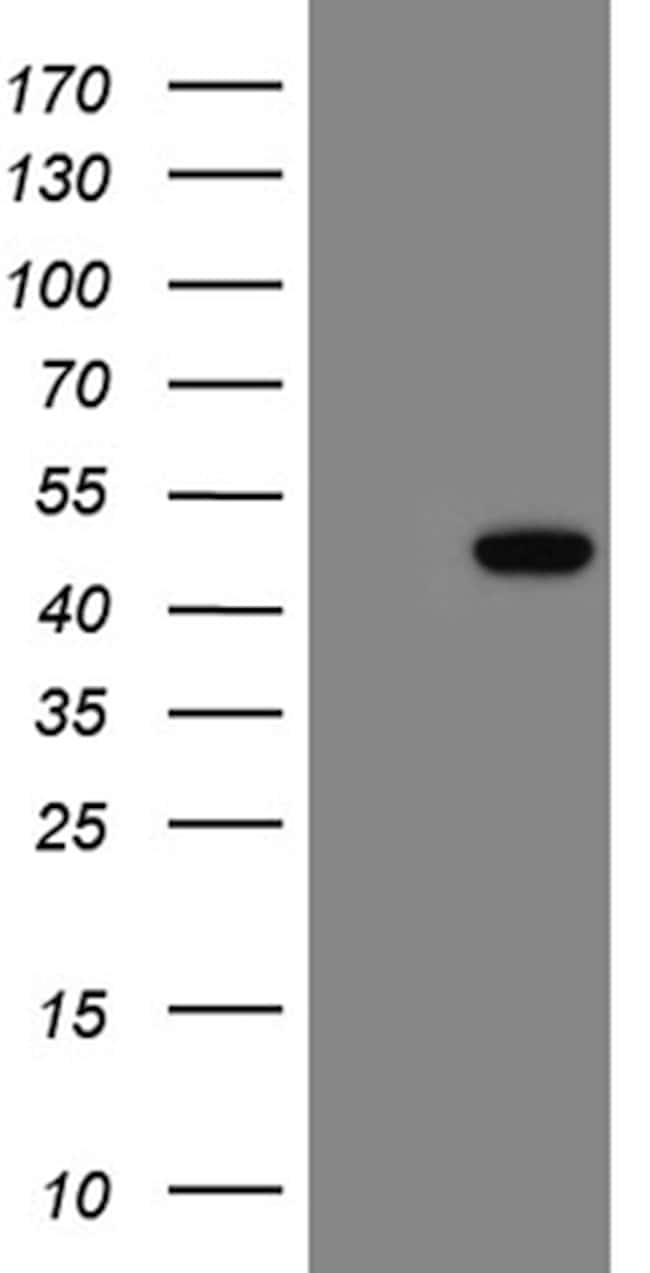 LSM11 Antibody in Western Blot (WB)