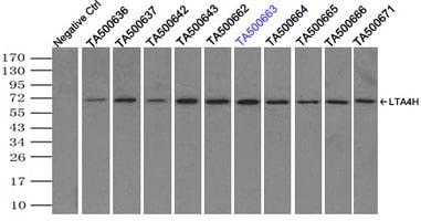 LTA4H Antibody in Immunoprecipitation (IP)