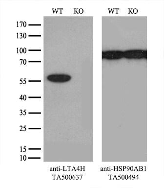 LTA4H Antibody in Knockout