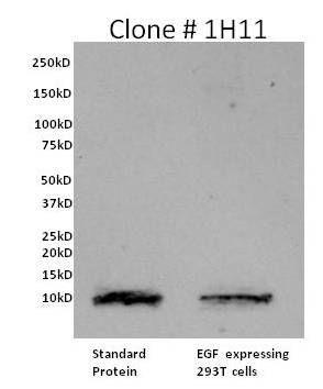 EGF Antibody in Western Blot (WB)