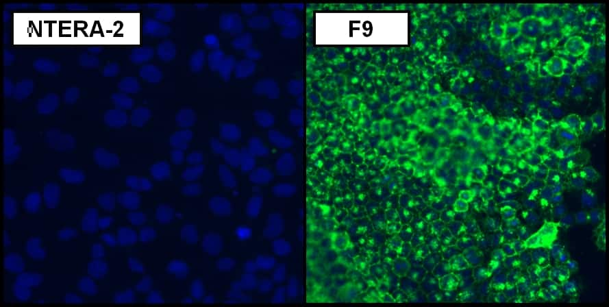 SSEA1 Antibody in Relative expression