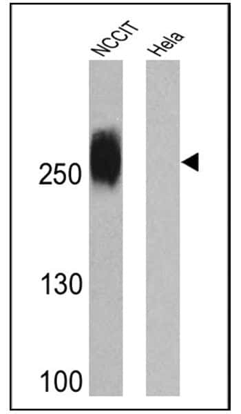 TRA-1-81 Antibody in Western Blot (WB)