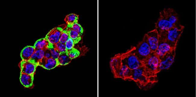 Cytohesin 2 Antibody in Immunofluorescence (IF)