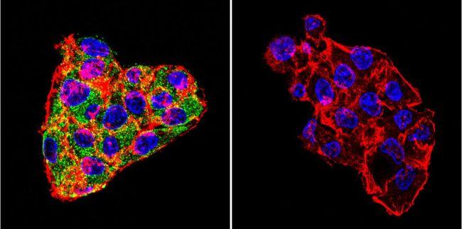 Cytohesin 1/2 Antibody in Immunofluorescence (IF)