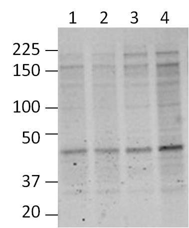 O-linked N-acetylglucosamine (O-GlcNAc) Antibody in Western Blot (WB)
