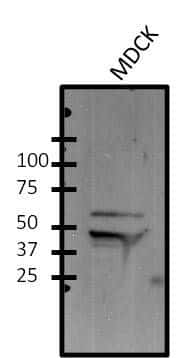 FOXA1 Antibody in Western Blot (WB)