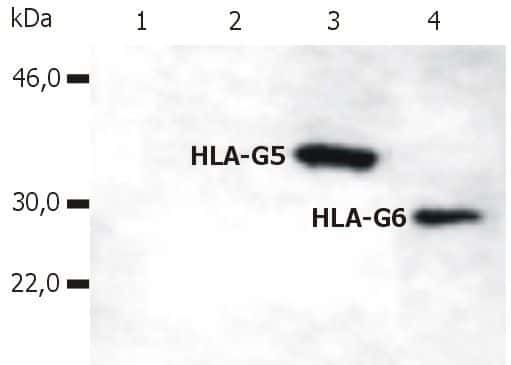 HLA-G (soluble) Antibody in Western Blot (WB)