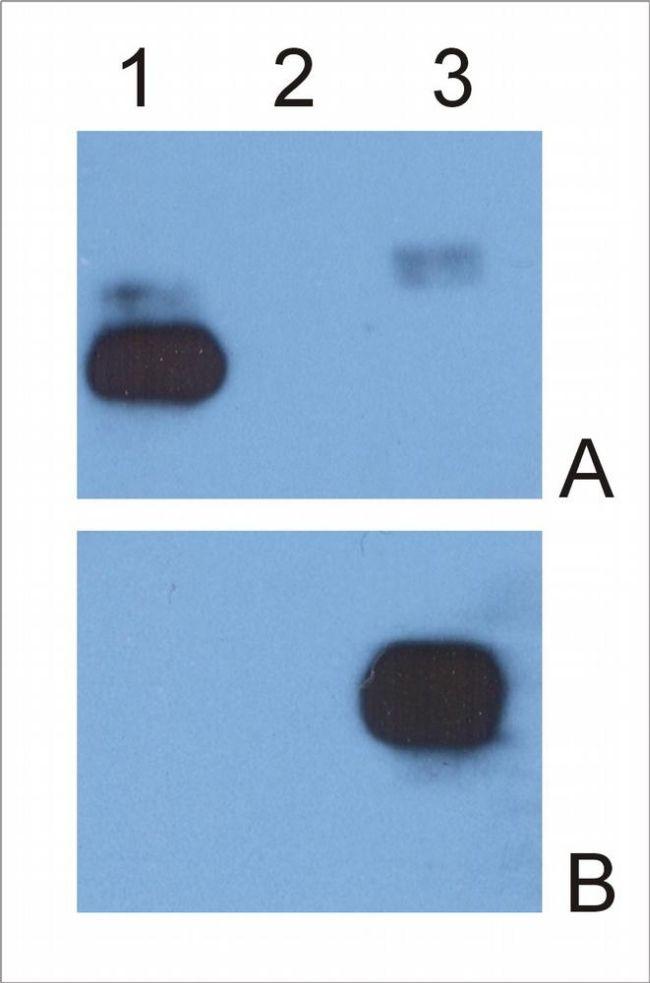 Human IgG Fc Antibody in Western Blot (WB)