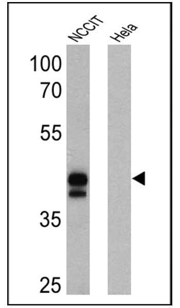OCT4 Antibody in Western Blot (WB)