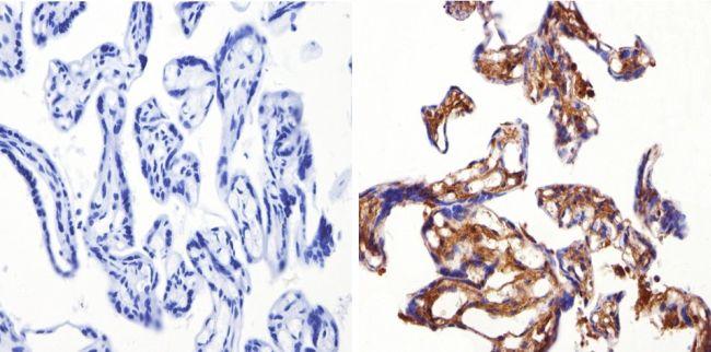 SOD1 Antibody in Immunohistochemistry (Paraffin) (IHC (P))