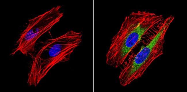 RhoA/RhoC Antibody in Immunofluorescence (IF)
