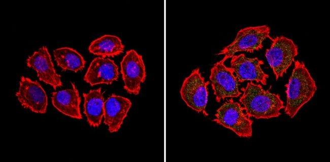 BID Antibody in Immunofluorescence (IF)